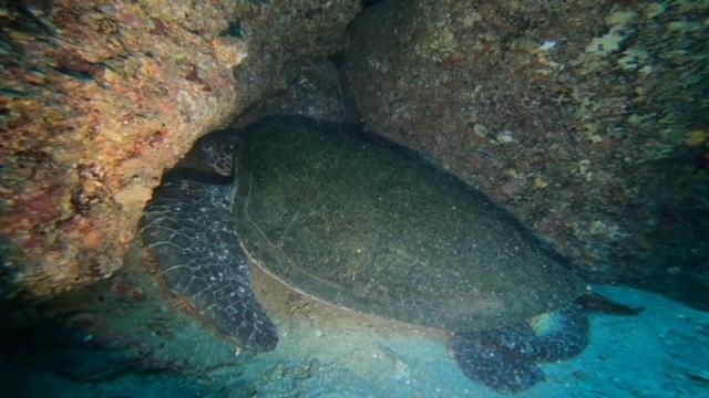 巨大アオウミガメ